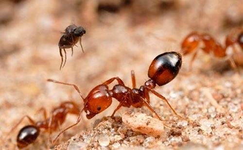 hormigas-coloradas