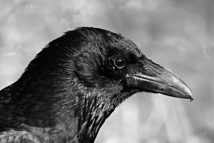 black-crow-4135618_960_720